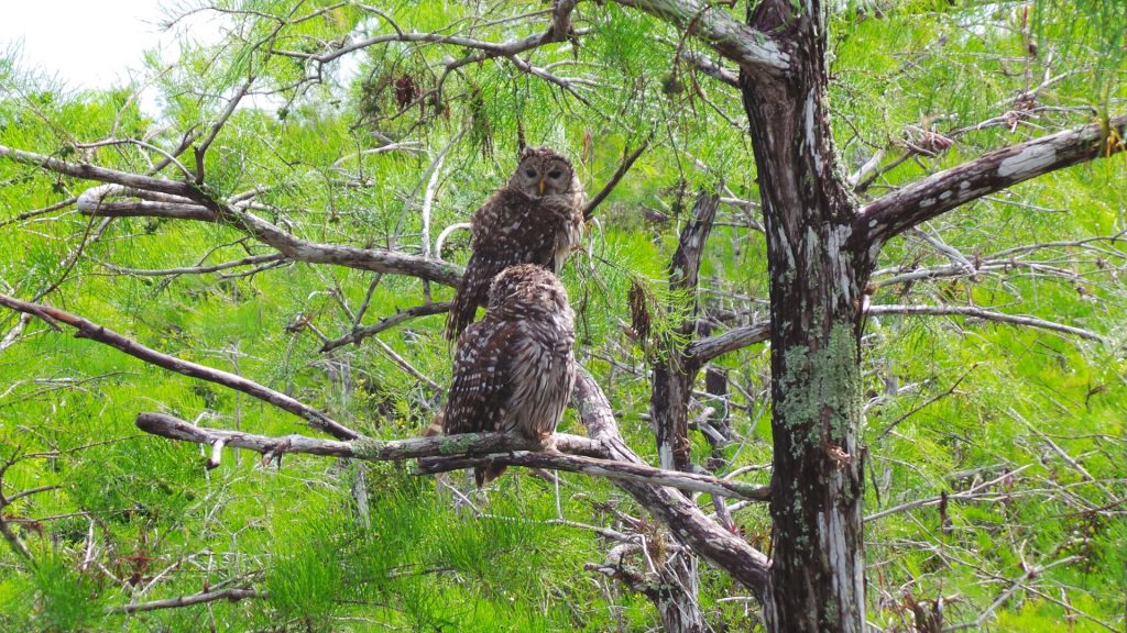 owls The Florida Everglades